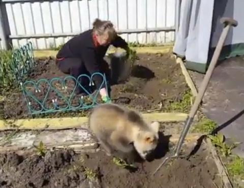 Это Россия! Медведь помогает сажать картошку!