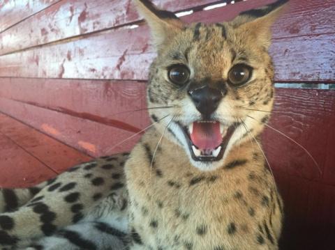 В уссурийский зоопарк «Чудесный» привезли дикого кота сервала