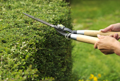 3 правила обрезки живой изгороди