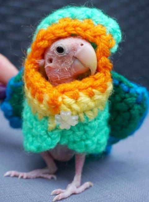 Бесперый попугай стал звездо…