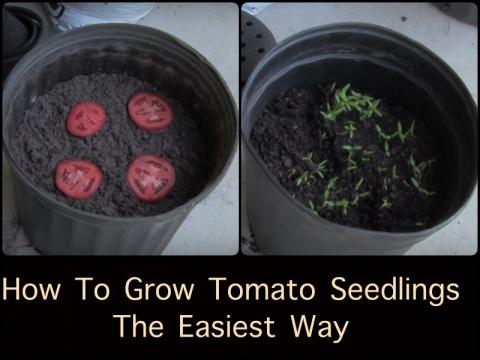Выращиваем рассаду, не выходя из дома