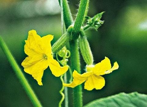 Нужно ли обрывать первый цвет на овощах?