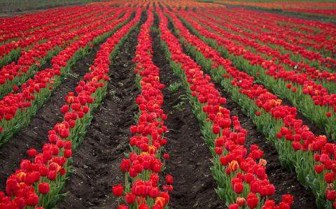 Гигантское поле тюльпанов