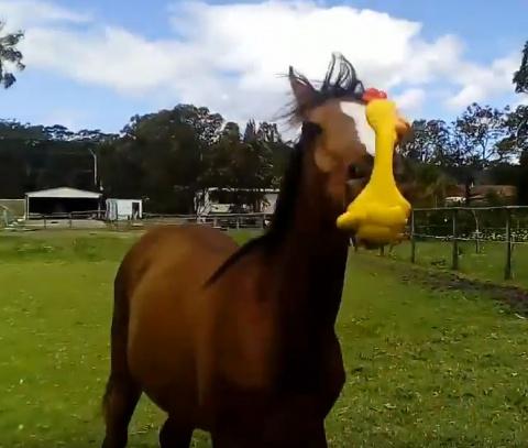 Подари курицу любимому коню!…