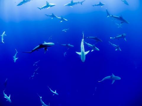 Борец с акулами погиб в схва…