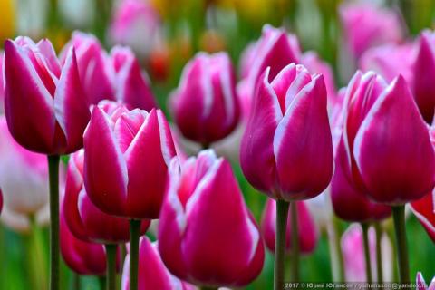 Красота крымских тюльпанов в…