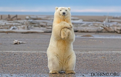 "Белый мишка танцует ""Макарену"""