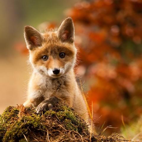 Рыжий. История преданного лиса