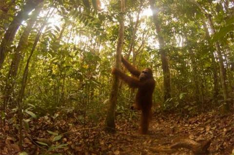 Фото дня: Орангутанг случайно сделал сотню селфи