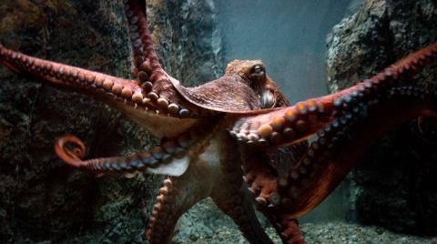 Осьминоги — инопланетяне? Геном осьминогов оказался намного сложнее человеческого