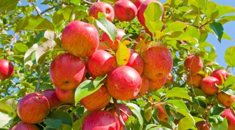 Зимостойкие сорта яблок для …