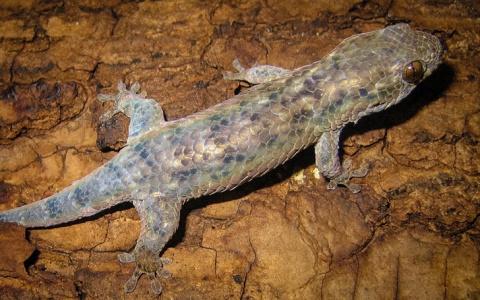 Открыт новый вид гекконов, сбрасывающих кожу при опасности