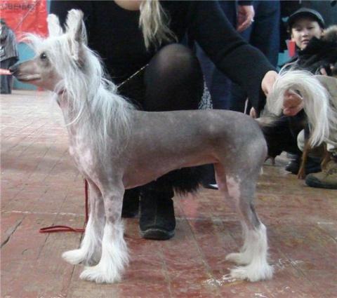 Щенки Китайской хохлатой собачки!!!