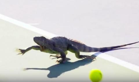 Теннисный матч в США был прерван из-за выбежавшей на корт игуаны