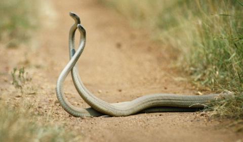 Ядовитые змеи подрались на п…