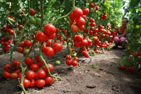Как угодить помидорам летом