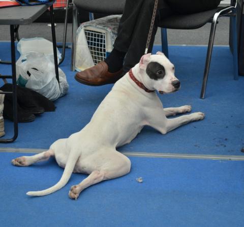 Как я побывала на выставке собак в Красноярске.(часть 2).