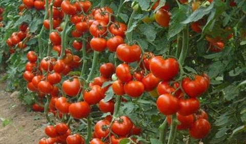 Пять рецептов лечения помидоров от фитофторы