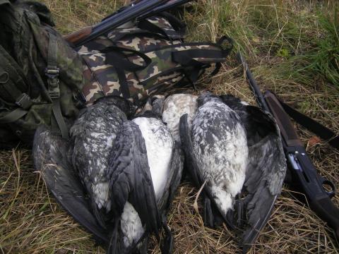 Охота на гуся на белом море