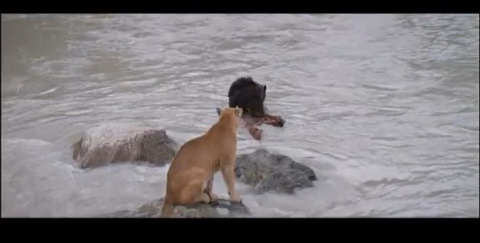 Видео о спасении медвежонка,…