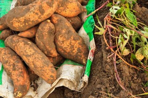 Сладкий батат - картофеля брат! Секреты выращивания