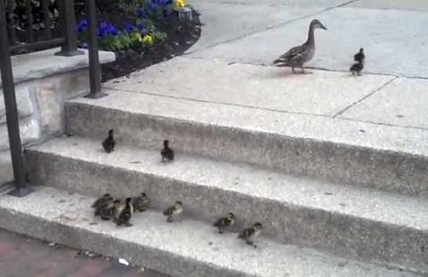 Неуклюжие утята с невиданным упорством пытаются взобраться на лестницу. Это настолько мило!