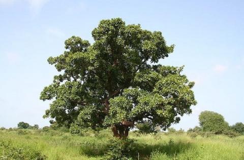 Необычное дерево ши – интере…