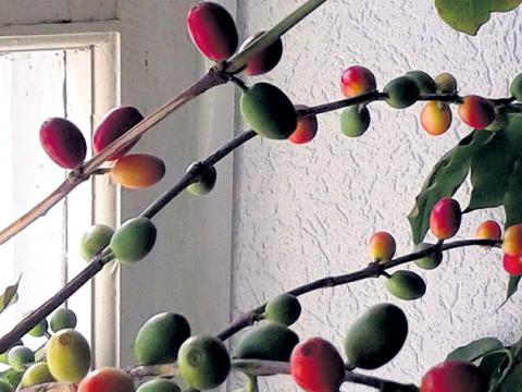 Лайфхак для кофемана: как вырастить кофе на подоконнике