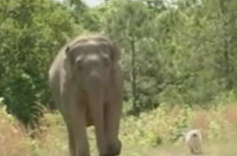 Эта слониха 3 недели стояла …