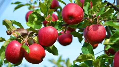 Как заготавливали яблоки сто…