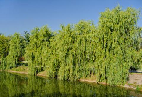 Какие растения посадить, чтобы укрепить берега ручья?