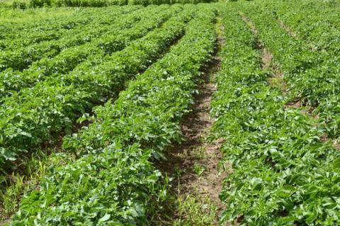 Как возродить убитую почву. Картофельное поле без трактора и плуга