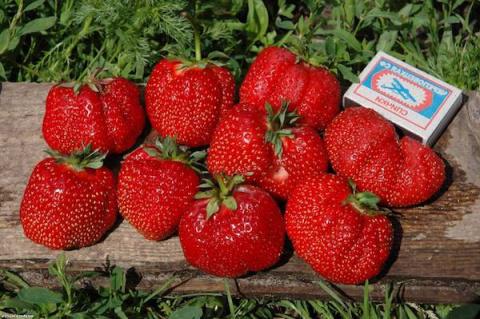 Благородный сорт садовой земляники: гребень Викоды