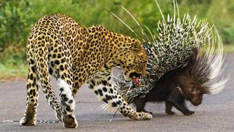 Дикобраз сражается с леопардами и львами: видео