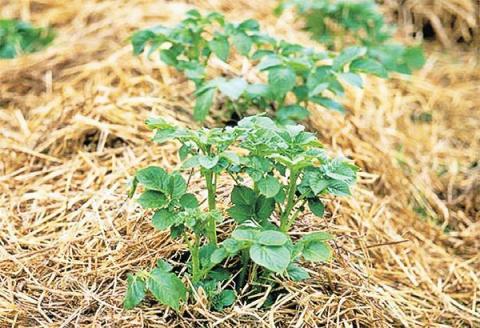 «Соломенная шуба»: опыт выращивания картофеля в соломе