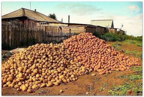 Картофель. Как с 20-ти кусто…