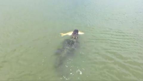 Аллигатор украл улов у рыбак…
