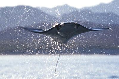 Летающие скаты карибского моря