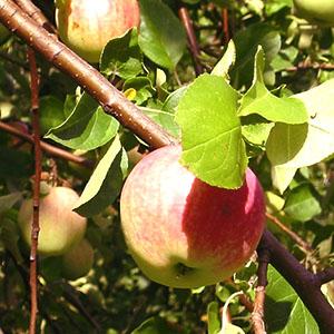 Болезни яблонь  и способы их лечения