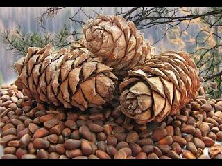 Добыча кедрового ореха - Тру…
