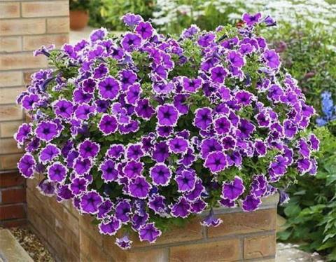 Садовые цветы петуния. 2 способа выращивания.