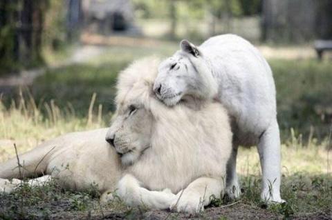 У белого льва и белой тигриц…