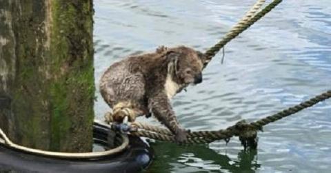 Коала, оказавшаяся в море, всеми силами держалась за верёвку