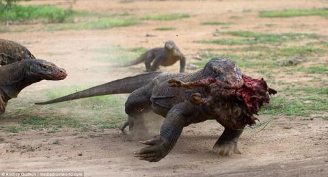 Комодские вараны — драконы н…