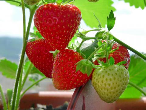 Как вырастить клубнику на балконе?