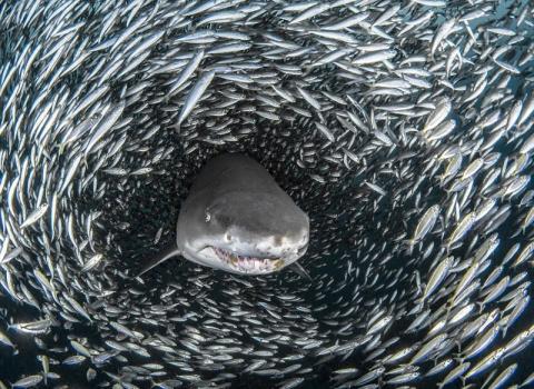 Кадры на миллион: акулы проп…