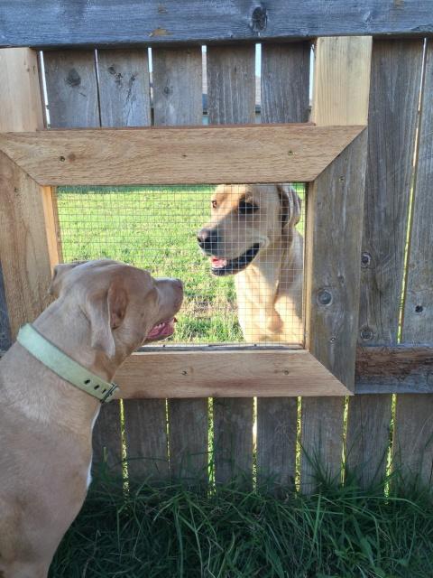 Он сделал окно в заборе, чтобы собаки могли общаться!