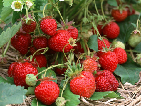 Земляника, малина, смородина, крыжовник, ирга: работаем с ягодниками