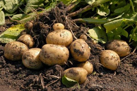 Голландская технология выращивания картофеля