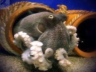 Осьминоги - образ жизни, повадки, интересные случаи